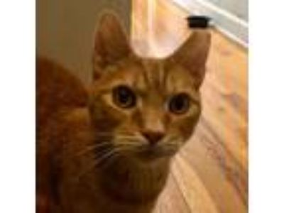 Adopt Tiger is Terrific! a Domestic Short Hair