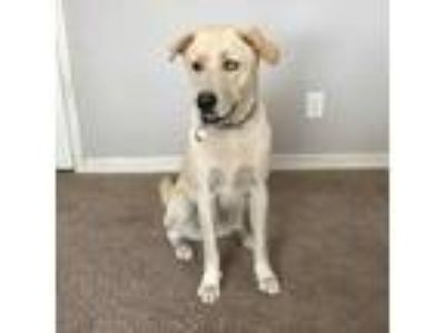 Adopt Boomer a Tan/Yellow/Fawn Labrador Retriever / Husky / Mixed dog in