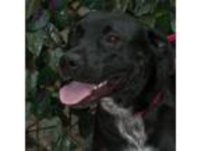 Adopt Skye a Black Labrador Retriever / Australian Cattle Dog / Mixed dog in San
