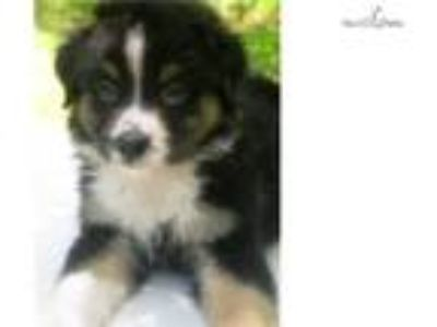 AKC/ASCA black tri-color male 2 Ch Ln