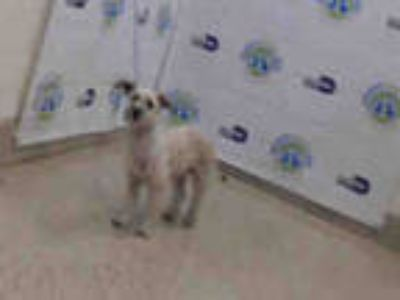 Adopt DINA a White - with Gray or Silver Schnauzer (Miniature) / Mixed dog in