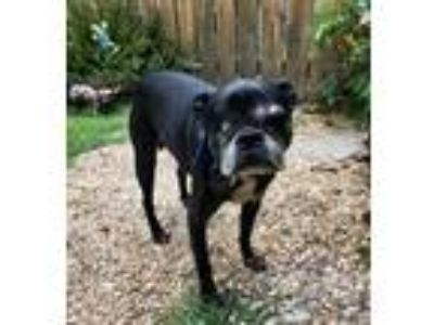 Adopt Mr. Ollie a Black - with White Boston Terrier / Mixed dog in Irving