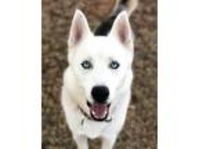 Adopt Ghost a White - with Black Siberian Husky / Mixed dog in Guthrie