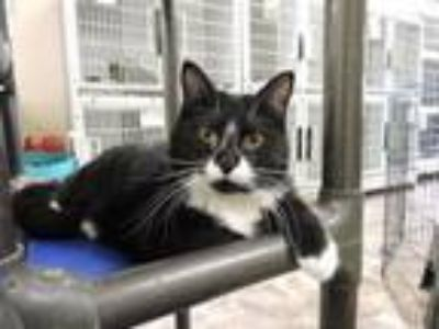 Adopt Grace a Domestic Short Hair