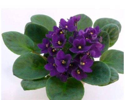 African violet Propagated cutting ready to go