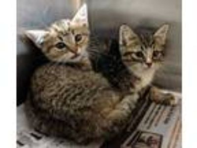 Adopt Feral Kitten 1 a Brown or Chocolate Domestic Shorthair / Domestic