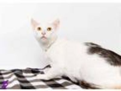 Adopt SERENA a Calico or Dilute Calico Domestic Shorthair / Mixed (short coat)