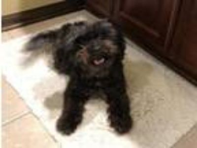 Adopt La Bamba a Yorkshire Terrier, Chinese Crested Dog