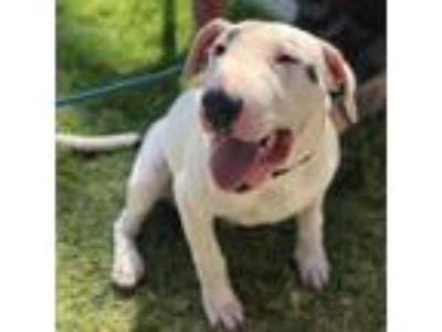 Adopt Sully a White - with Tan, Yellow or Fawn Bull Terrier dog in Long Beach