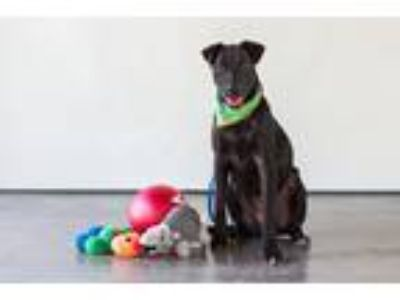Adopt Baby Doe a Black Labrador Retriever / Mixed dog in Seattle, WA (21988619)