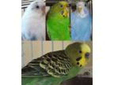 Adopt Shelter Parakeets a Budgie bird in Asheville, NC (16994929)