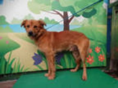 Adopt SCOOTS a Brown/Chocolate Golden Retriever / Mixed dog in Waco