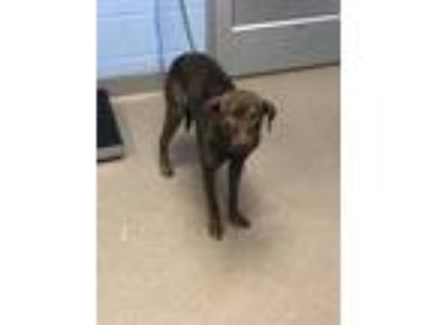 Adopt Lilac a Brown/Chocolate Mixed Breed (Large) / Mixed dog in Chamblee