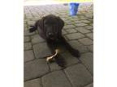 Adopt Titan a Black - with White Great Dane / Labrador Retriever / Mixed dog in