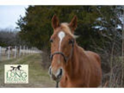 Adopt REBEL a Chestnut/Sorrel Tennessee Walking Horse / Mixed horse in Union