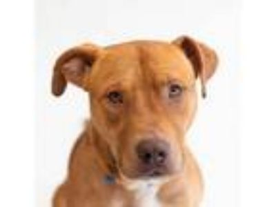Adopt Macho - PAL Dog - On Deck! a Pit Bull Terrier, Mixed Breed