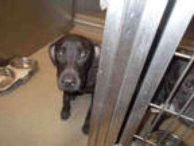 Adopt a Brown/Chocolate Labrador Retriever / Mixed dog in Fort Lauderdale