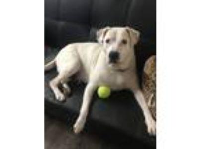 Adopt Gucci a Dogo Argentino