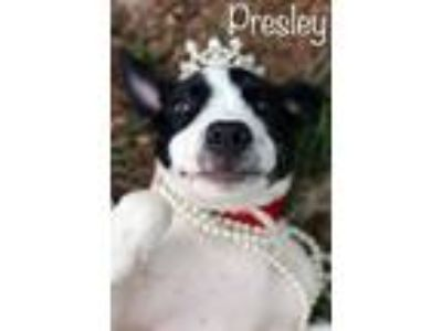 Adopt Presley a Border Collie, Pit Bull Terrier