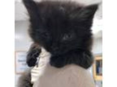 Adopt Baki a All Black Domestic Shorthair cat in Jacksonville, FL (25871692)