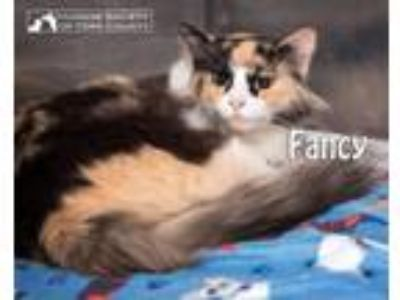 Adopt Fancy a Domestic Long Hair, Maine Coon