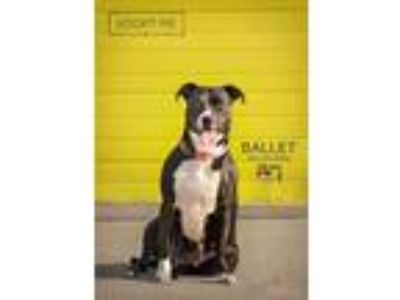 Adopt Ballet a Black - with White Staffordshire Bull Terrier / Mixed dog in