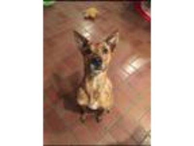 Adopt Lambeau a Brindle Belgian Malinois / Collie dog in Dallas, TX (25065748)