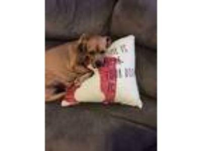Adopt Mia a Red/Golden/Orange/Chestnut Beagle / Hound (Unknown Type) / Mixed dog