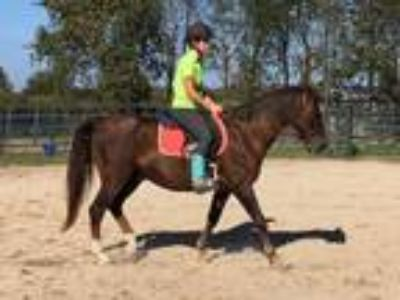 Adopt Lobo-companion horse a Chestnut/Sorrel Paso Fino / Mixed horse in