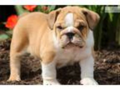 Slinky - English Bulldog Male