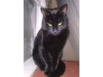Adopt Smoky a All Black Domestic Shorthair / Mixed cat in Santa Ana