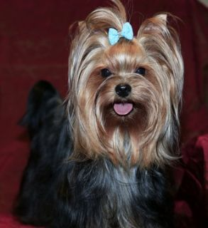 Yorkshire Terrier PUPPY FOR SALE ADN-62997 - Yorkshire Champion parent Fonnie