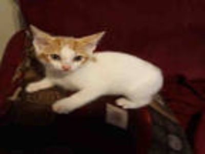 Adopt SUKIE a Orange or Red (Mostly) Domestic Shorthair / Mixed (short coat) cat
