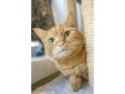 Adopt Sheebie a Orange or Red Domestic Shorthair / Domestic Shorthair / Mixed
