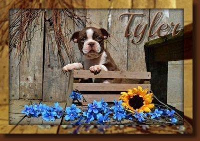 Tyler Male Boston Terrier AKC