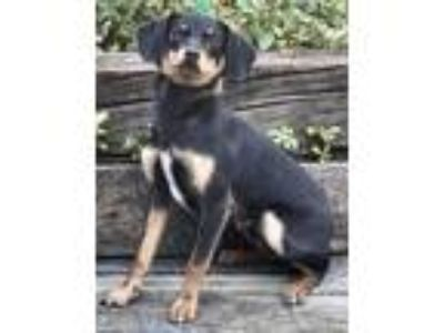 Adopt Dashing Signs - IN FOSTER a Dachshund