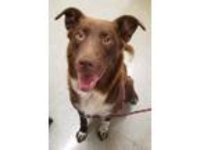 Adopt Bonnie a Brown/Chocolate - with White Retriever (Unknown Type) / Mixed dog