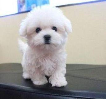 AKC Male Maltese Puppies $1750