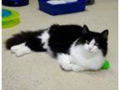 Adopt Clayton a Domestic Long Hair