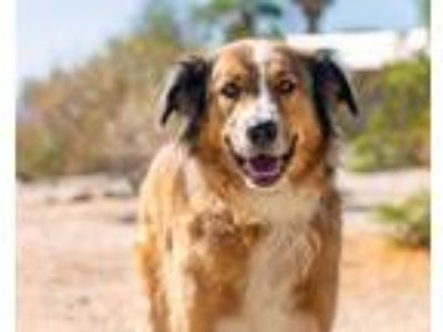 Adopt Toby a Red/Golden/Orange/Chestnut Collie / Mixed dog in Palm Springs