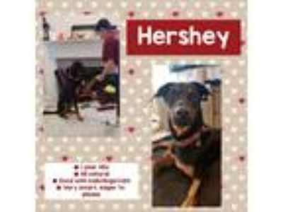 Adopt Hershey a Black - with Tan, Yellow or Fawn Doberman Pinscher / German