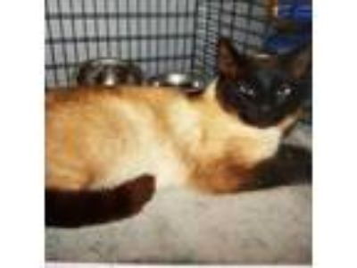 Adopt Mary Poppins a Siamese