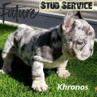 French Bulldog Future Stud Services Alert! Blue Tri Merle Frenchy