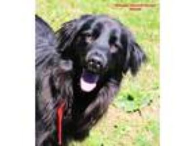 Adopt Orion a Black Mixed Breed (Large) / Mixed dog in Boone, NC (25333709)