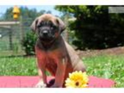 Ginger - English Mastiff
