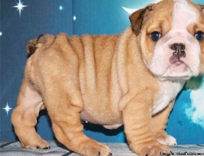 WRTDFYF English bulldog puppies