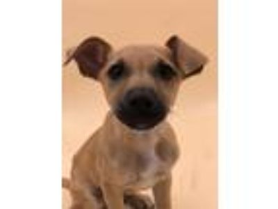 Adopt Franklin a Hound (Unknown Type) / American Staffordshire Terrier / Mixed