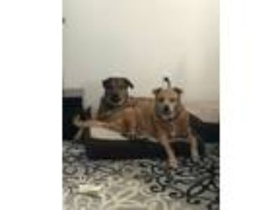 Adopt Piper a Brown/Chocolate - with Black Hound (Unknown Type) / Shepherd