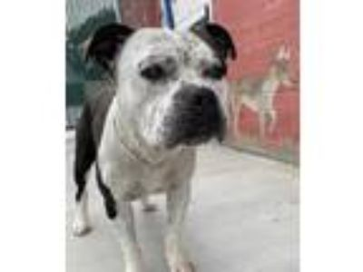 Adopt Bagel - URGENT a American Pit Bull Terrier / American Staffordshire