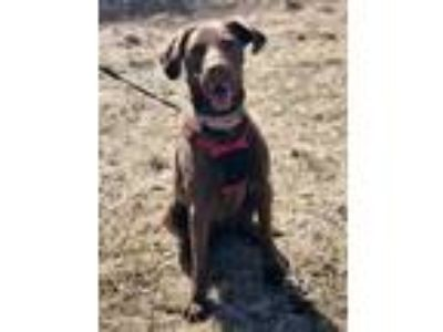 Adopt Tasha a Brown/Chocolate Labrador Retriever / Mixed dog in Wellsville